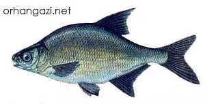 Çapak Balığı İznik gölü balık türleri