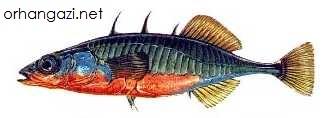 Dikence Balığı İznik gölü balık türleri