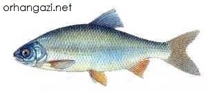 Gördek Balığı İznik gölü balık çeşitleri