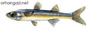 İznik Gölü Balık Türleri,gümüş balığı