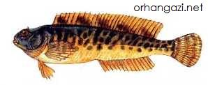 Horozbina Kaya Balığı iznik gölü balık türleri