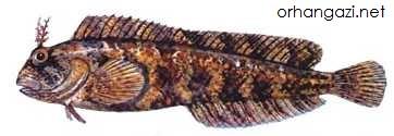 Horozbina Kaya Balığı İznik gölündeki balık çeşitleri