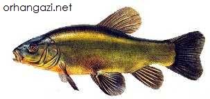 Kadife Balığı İznik gölü balık türleri