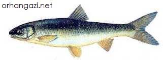 Kızılkanat Balığı (Scardinius Eıythrophthalmus)