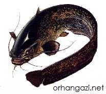 İznik Gölü Balık Türleri yayın balığı