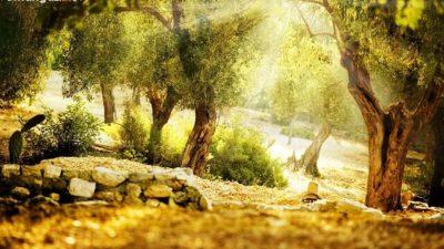 Zeytin ile ilgili Efsaneler: Zeytin dalı efsanesi