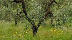 Zeytin Ağacı : Kutsal Armağan..