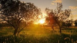Zeytin'in Öyküsü ve Kökleri