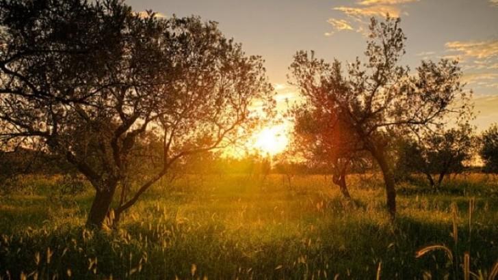 Zeytinin Öyküsü ve Zeytin Kökleri Hakkında Bilgi